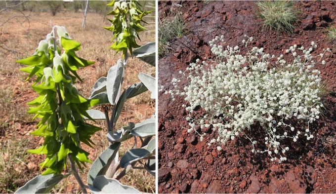 pilbara flower5