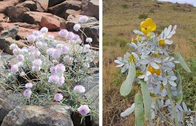 pilbara flower6