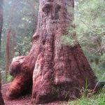 ユーカリの森で森林浴 Valley of the Giants